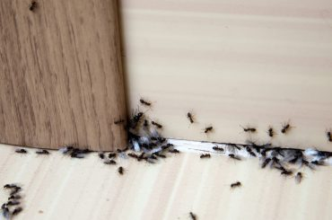 What causes ants in the house and how to get rid of them.