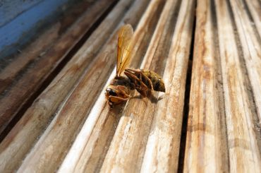 Dead wasp: Does killing a wasp attract more?